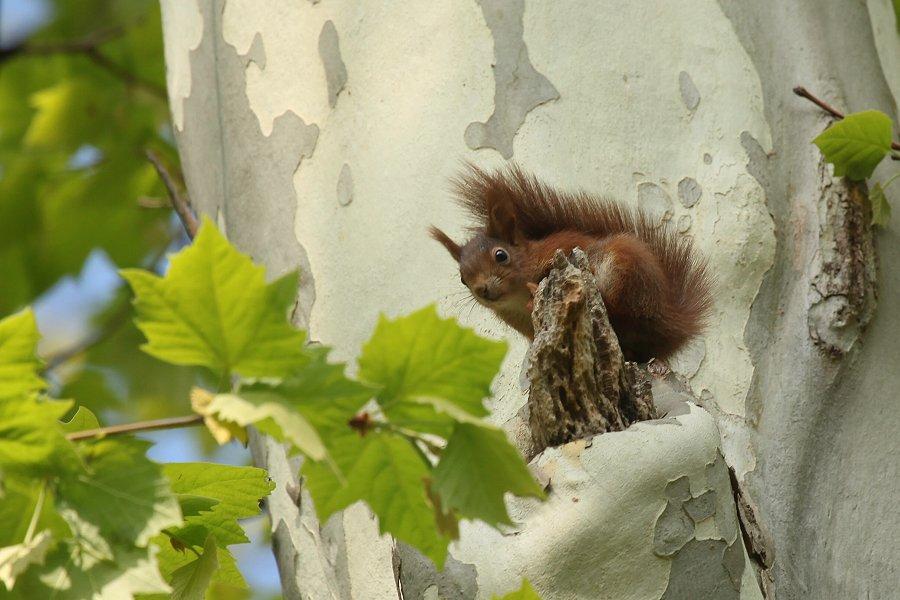 bauen tauben nester auf den bäumen